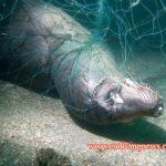 Divers Assist in Removing Killer Gillnet