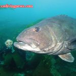 How to Photograph Giant Black Sea Bass