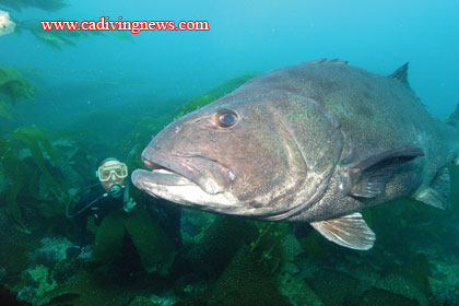 How to Photograph Giant Black Sea Bass - California Diving ...
