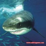 California Marine Life: Technology Provides New Insight Into White Shark Behavior