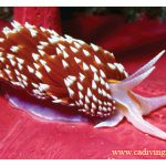 Know Your Nudibranchs
