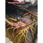 How to Photograph Lobster