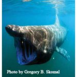 Seen Any Basking Sharks? Contact NOAA