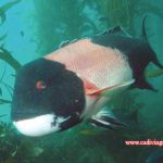 Sheephead: The Bold Rogue of the Kelp Forest