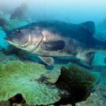 Giant Sea Bass: Are They Really Back From the Brink?