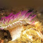 Aggregating Anemones: Gangsters of the Sea?