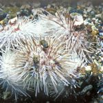 Spiny Skinned and Symmetrical: California' s Sea Urchins