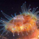 California's Undersea Flower Animals: The Stony Corals