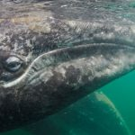A Committed Commuter: The California Gray Whale