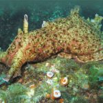 Hydro-Powered Holothurians: California Sea Cucumbers
