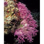 Admiring California Hydrocoral
