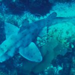 "The Horn Sharks, Heterodontus: A ""Different"" Kind"