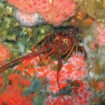 Knowing and Catching California Spiny Lobster
