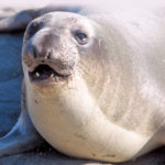Have You Seen a Sea Elephant? All About the Northern Elephant Seal