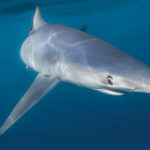 Getting to Know Our Neighbors –The Blue Shark and Shortfin Mako Shark