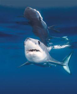 CDN July Shark Picture
