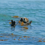 Way Cooler Than a Weasel: California's Southern Sea Otter