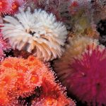 "Diving Anacapa's ""Coral Reef"""