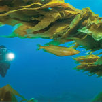 California Glory: Our Coastal Kelp Forests