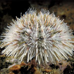 "Sharp and ""Spiny Skinned"": California's Sea Urchins"